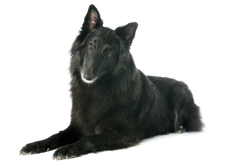 Belgian Sheepdog Lying