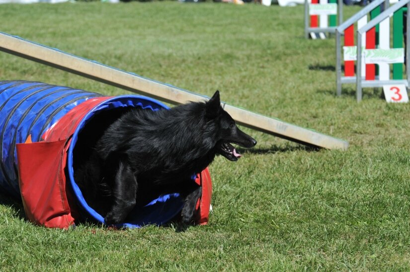 Belgian Sheepdog Exercise