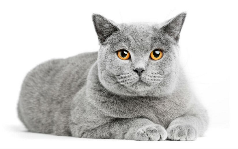 British Shorthair Lies