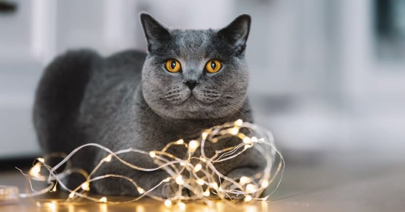 Scottish Fold With Lights