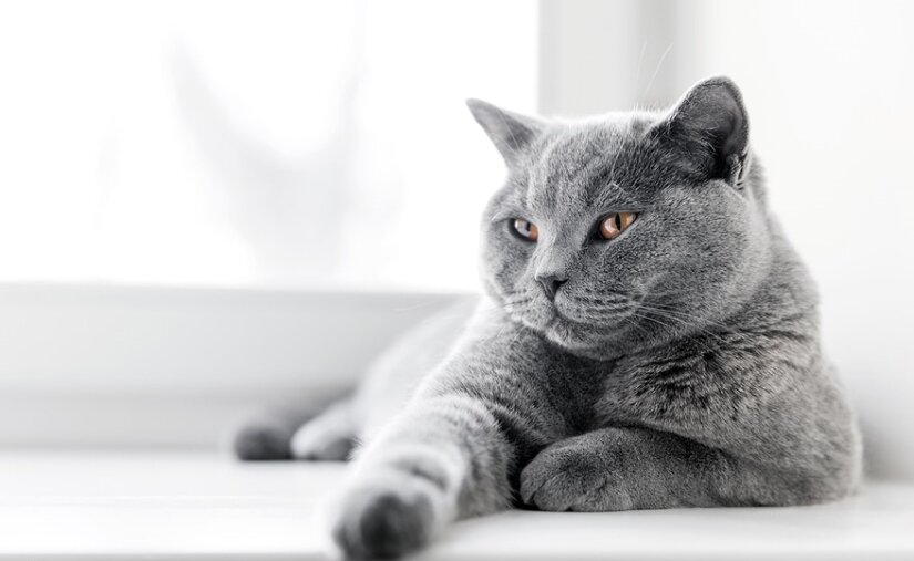 British Shorthair On Window