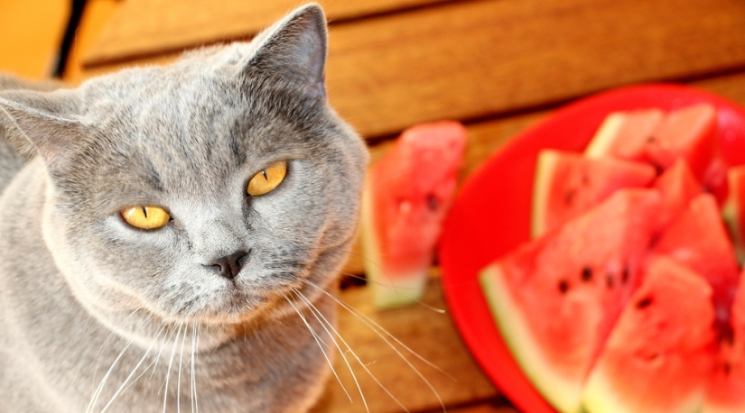 British Shorthair gagged with sliced fruit