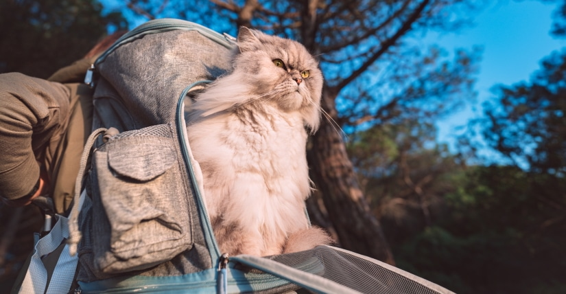 Fat cat sitting in open pet backpack carrier outdoors