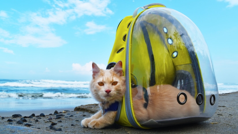 Сat traveling with transparent backpack carrier on the beach