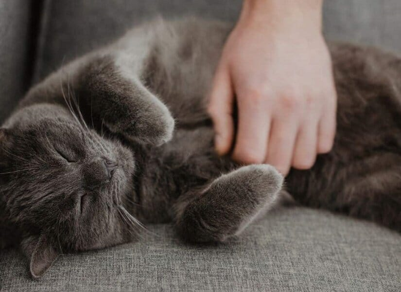 Chartreux sleep
