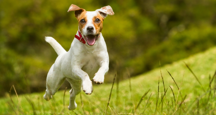 Happy dog jumping on the grass