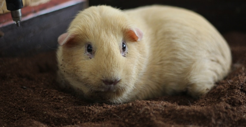 Guinea pig on fleece
