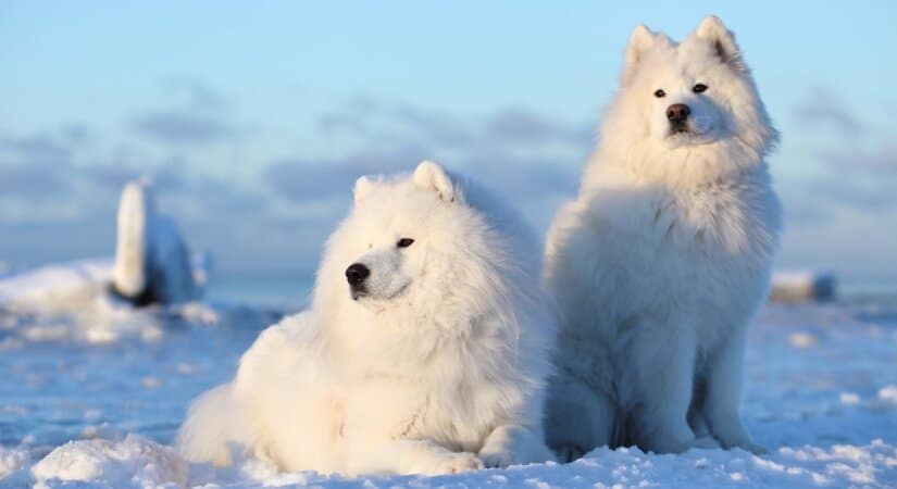 Two Samoyeds on Snow
