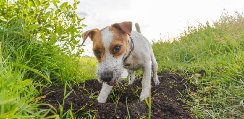 Puppy is digging