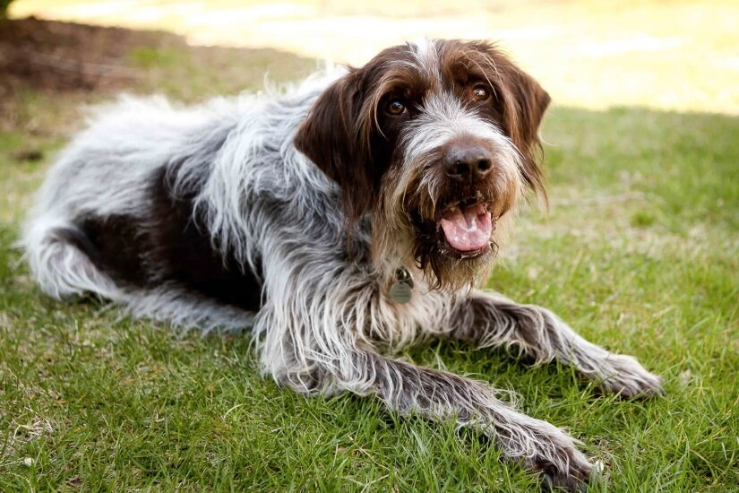 Wirehaired Pointing Griffon Lies