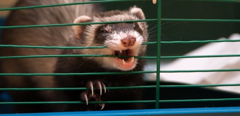 Ferret try to escape