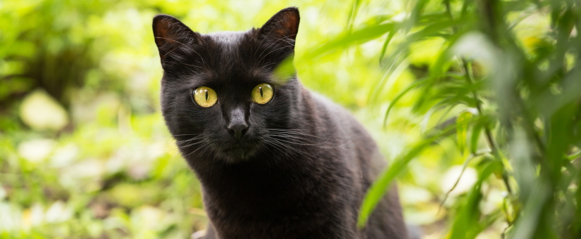 Beautiful black cat portrait with yellow eyes and attentive look