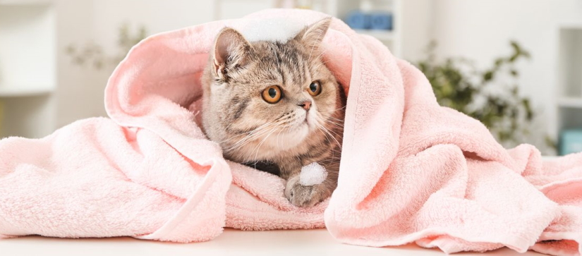 Fluffy cat resting in a towel