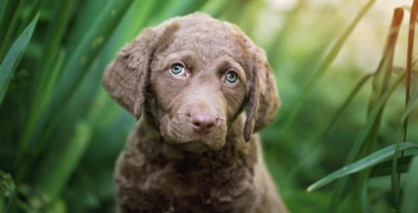 7-week old Retriever