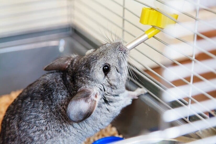 Chinchilla Drink from Water Bottle