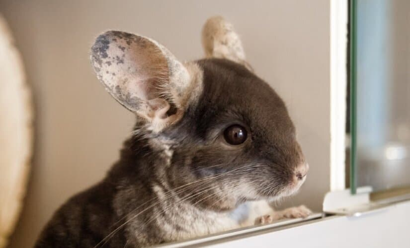 Chinchilla Sit