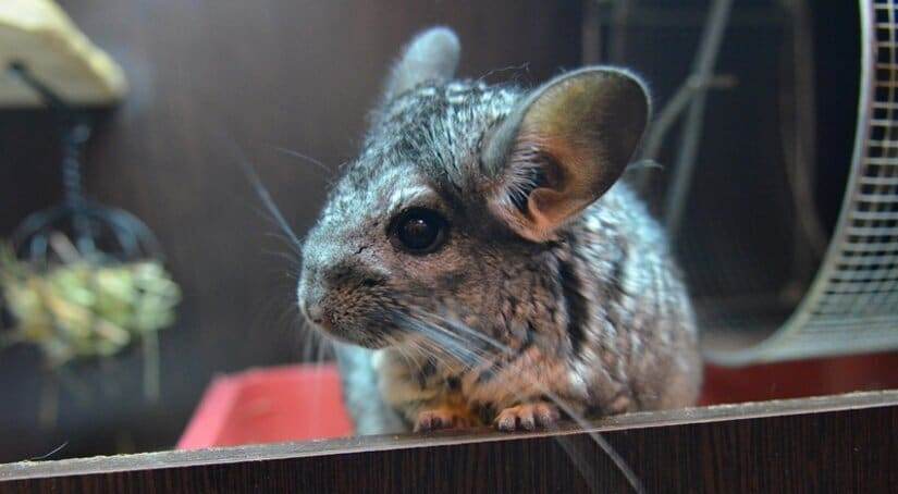 Chinchillas Sit in Cage