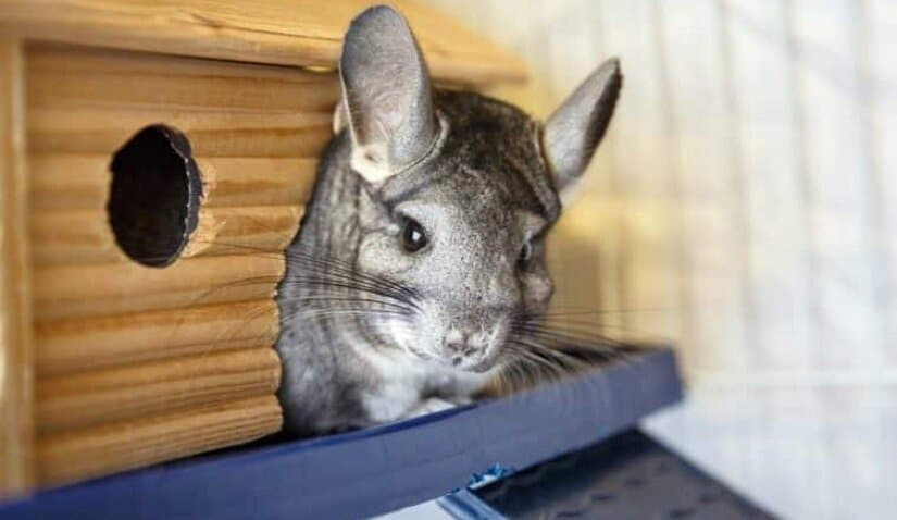 Chinchillas Sleeps in Cage With Latch