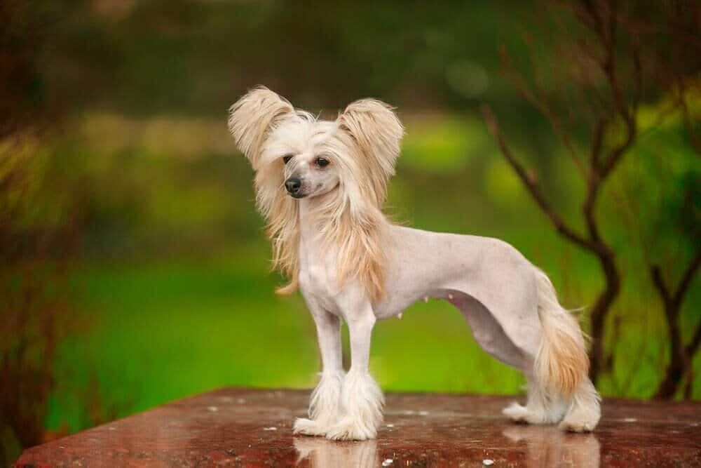 Chinese Crested Stay
