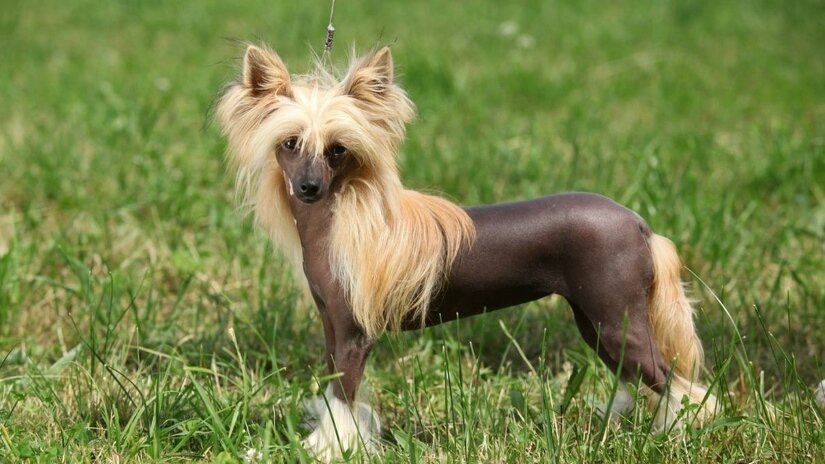 Chinese Crested Walk on Leash