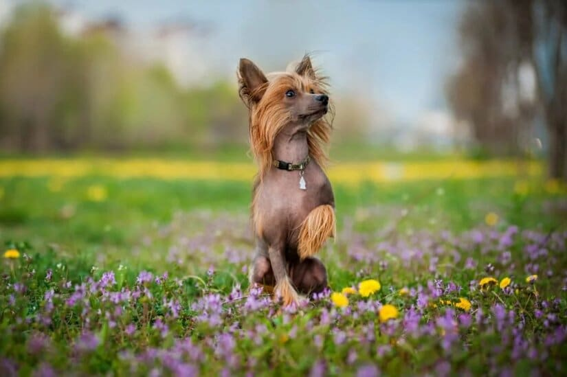 Chinese Crested Sit