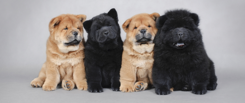 Black and brown puppies