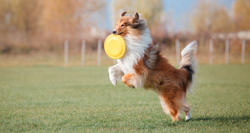 The Rough Collie catching a plastic disc