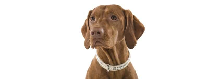 Dog in collar