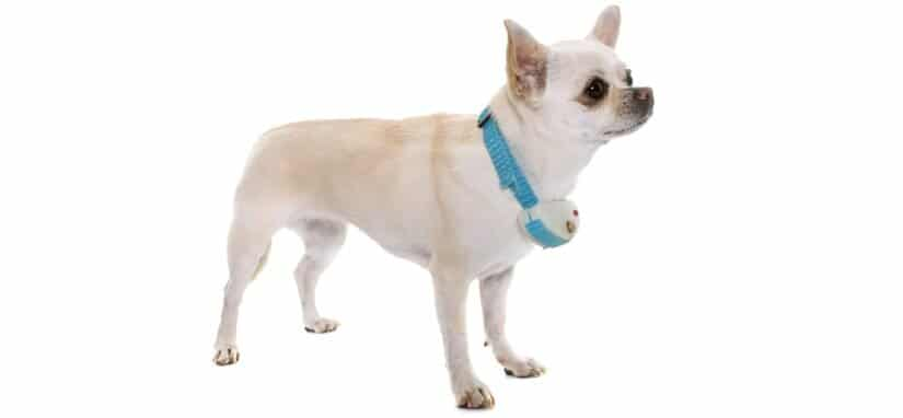 Small dog with training collar