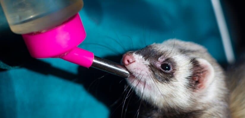 Ferret drink thought Water bottle