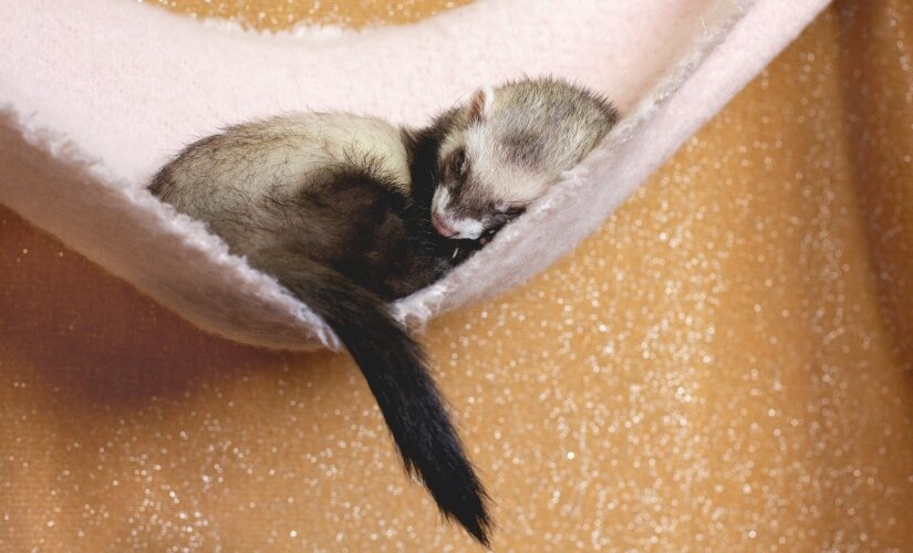 Ferret Sleep in hammock