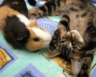Cat and pig