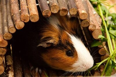 Wooden home for guinea pig