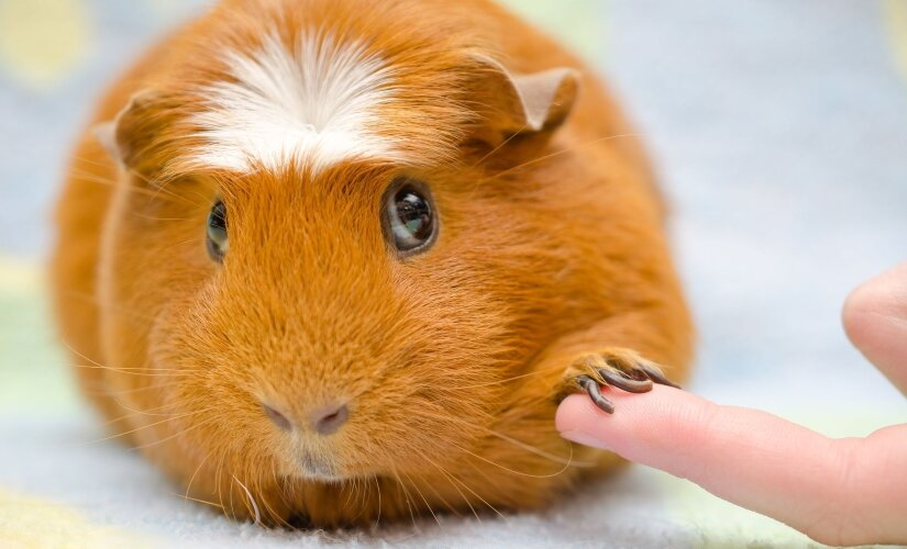 Guinea pig with human