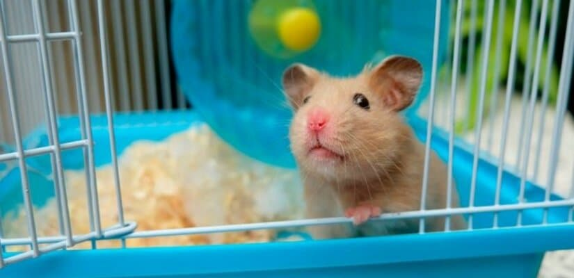 Syrian hamster in cage