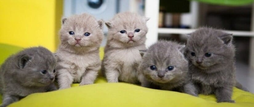 Chartreux kittens