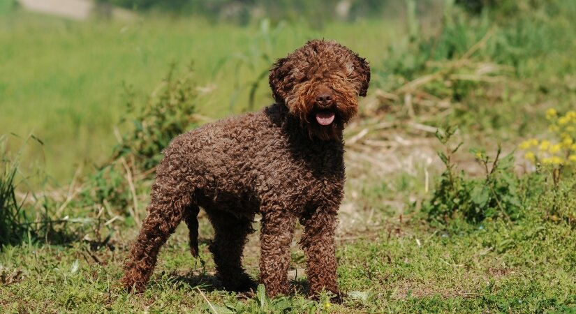 Lagotto Romagnolo on walk