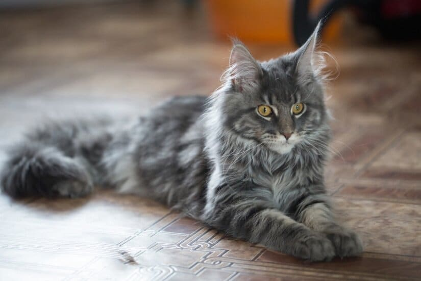 Maine coon grooming