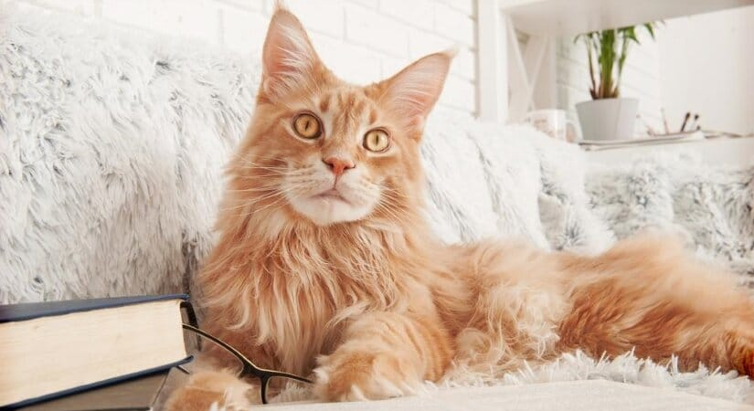 Maine Coon Read