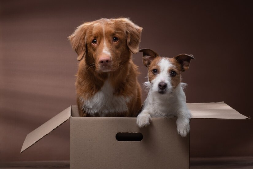 Dogs in box