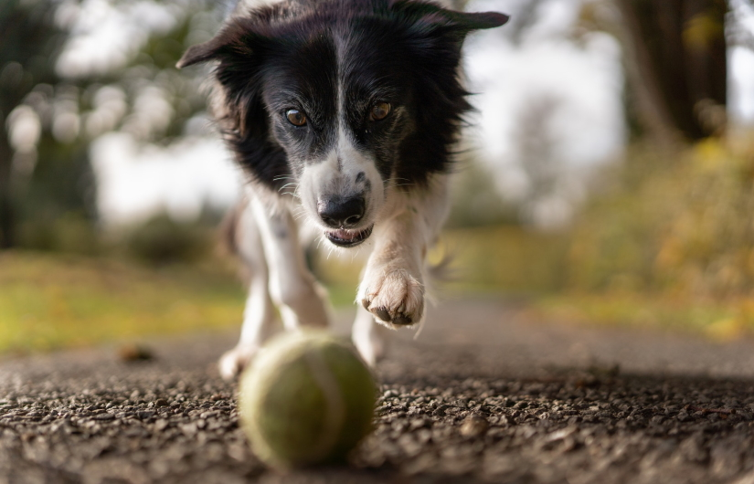 Doggie chasing a ball