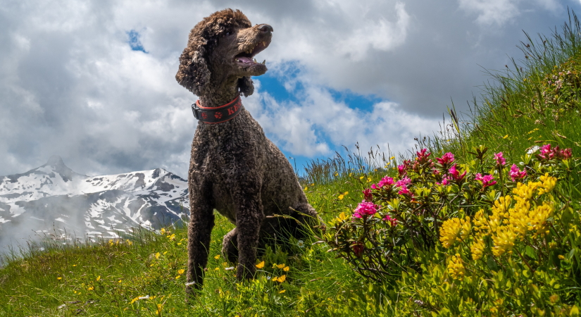 Poodle in a meadow