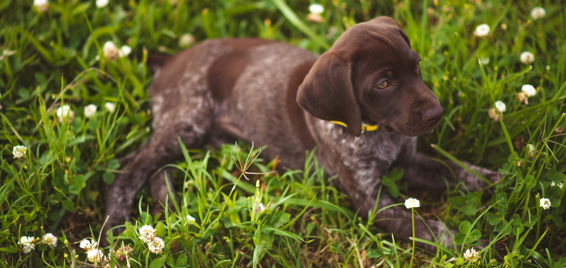 Puppy resting on a grass