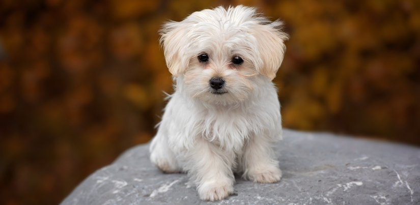 White pupper on a rock