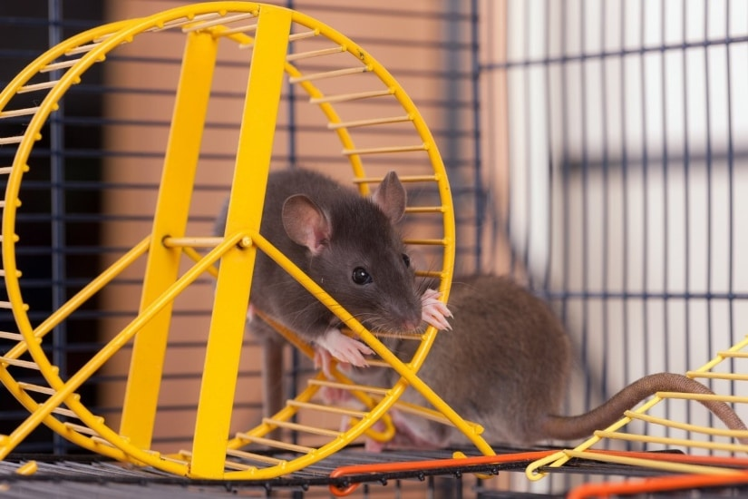 Rat in wheel