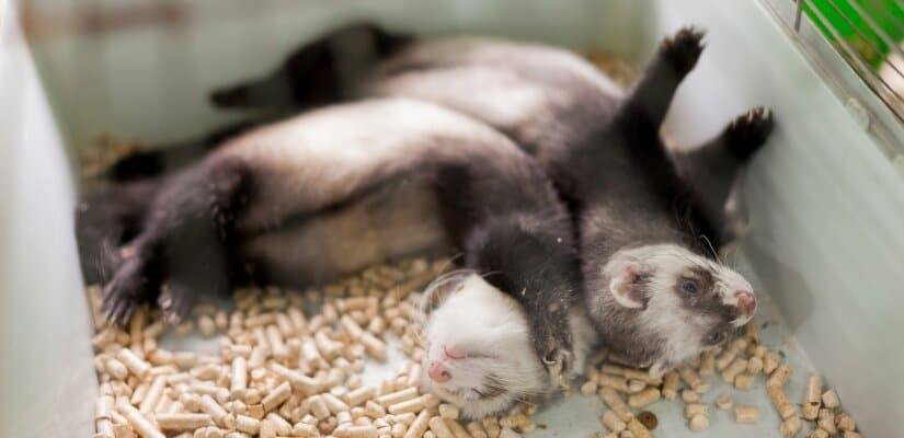 Two Ferrets in Cage