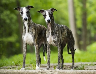 Whippets on street