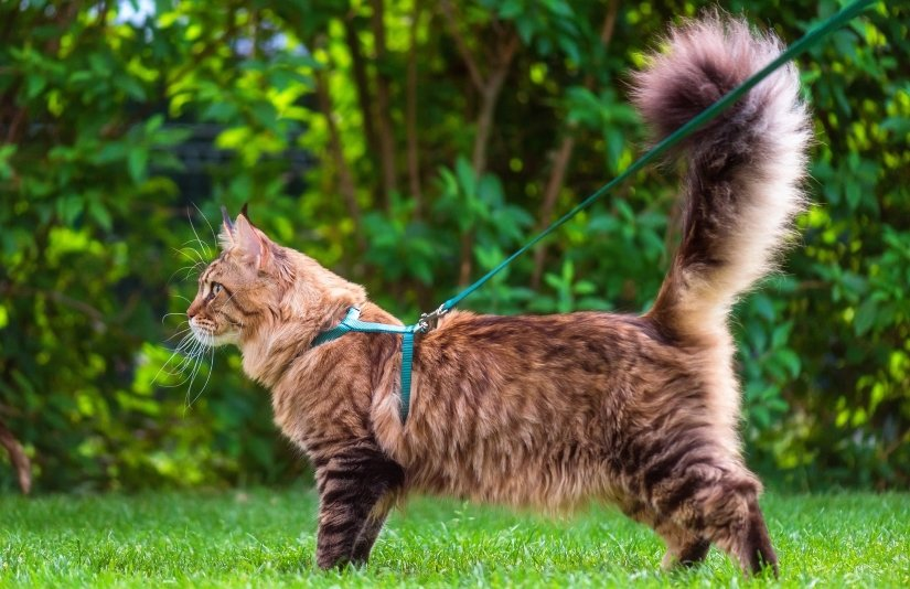 Safely Walk Your Cat