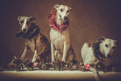 Old photo with whippets