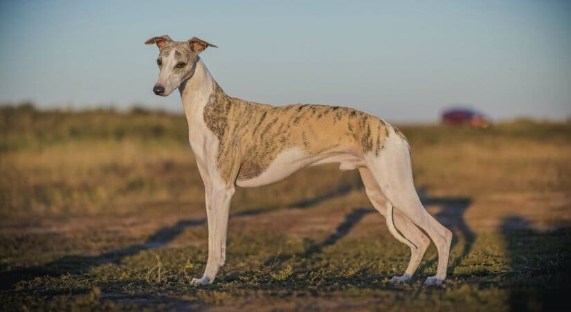 Whippet stay